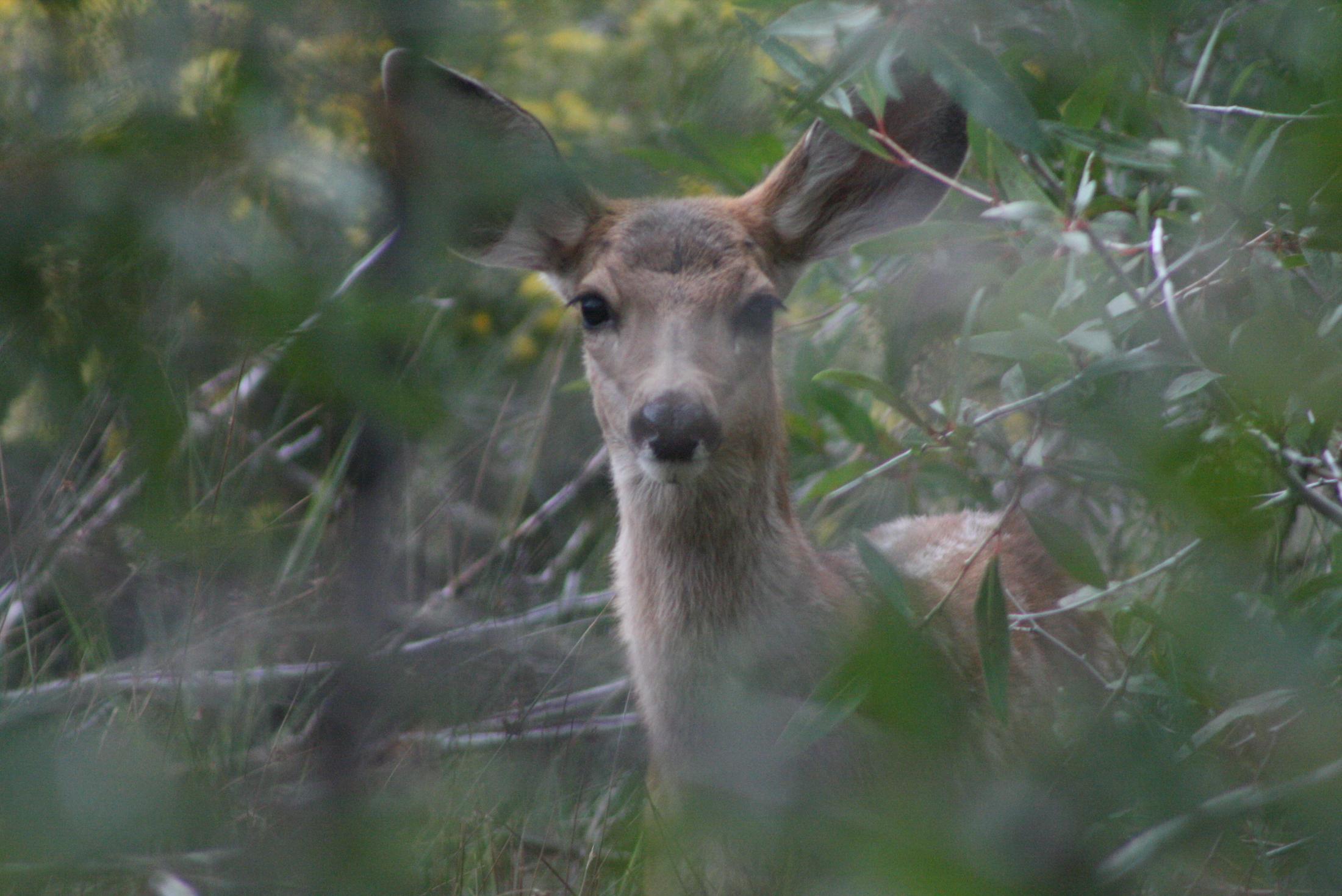 Deer_in_Woods