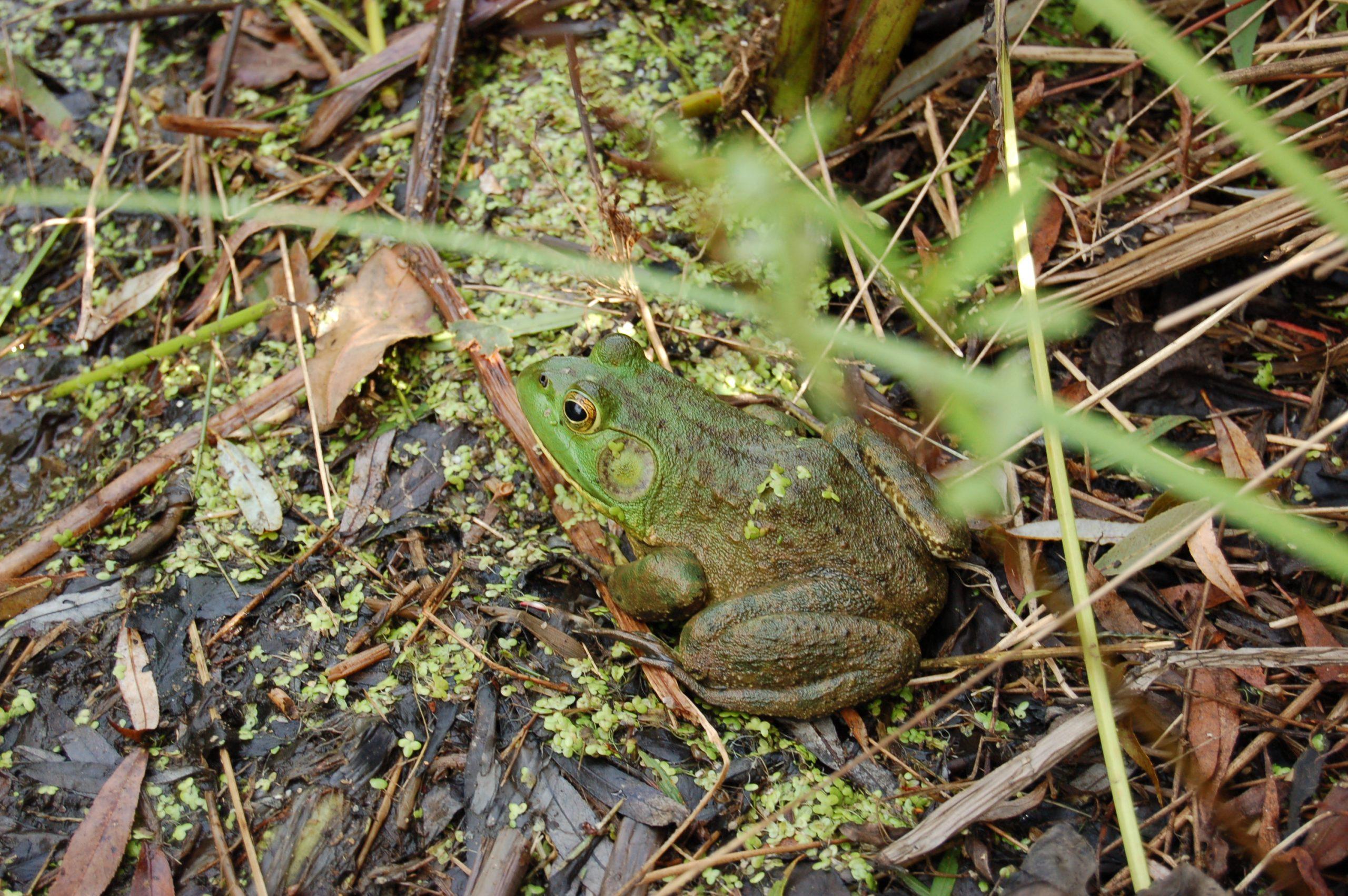 FLP frog