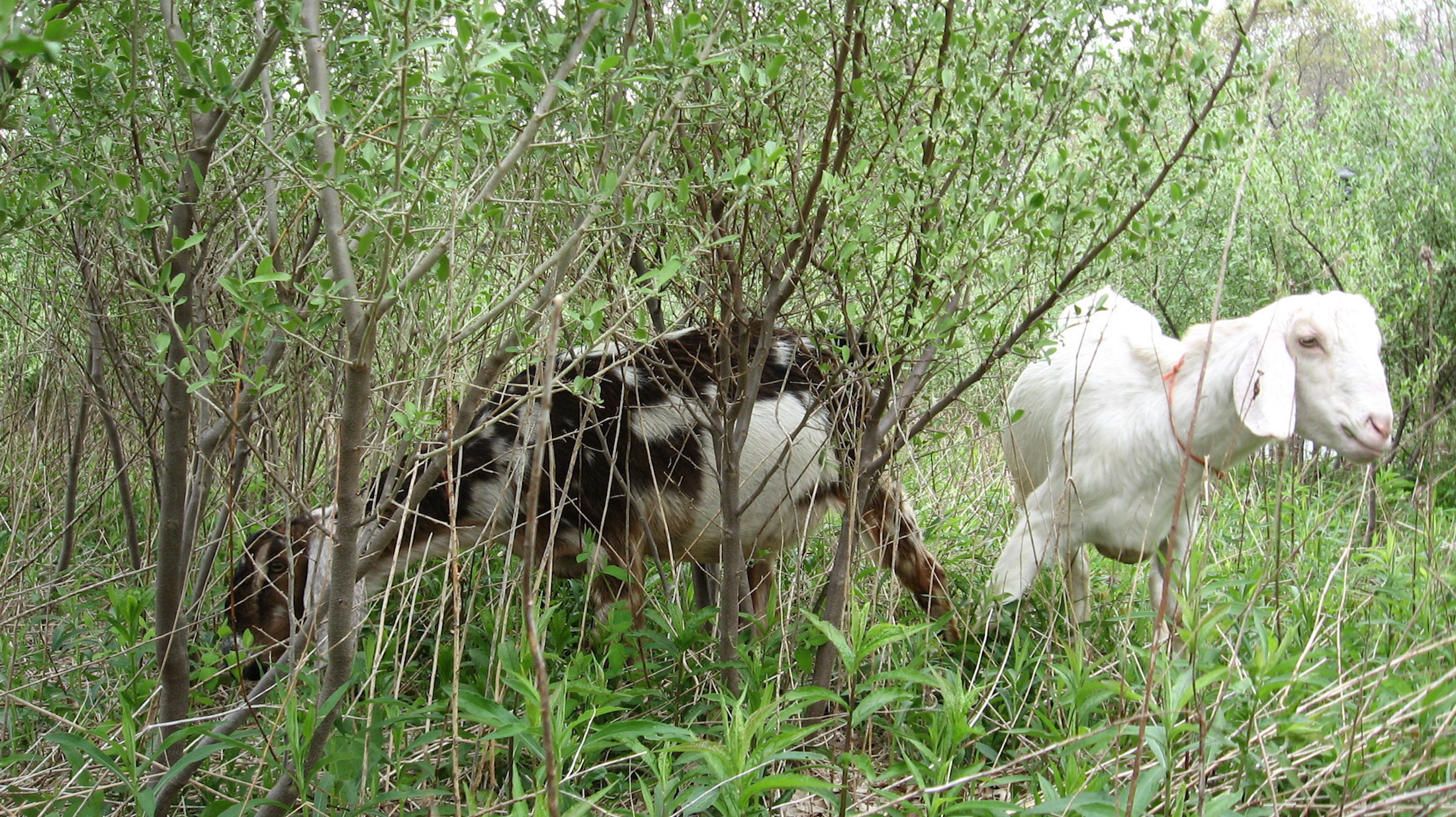 Goats eating autumn live Vineyard Field