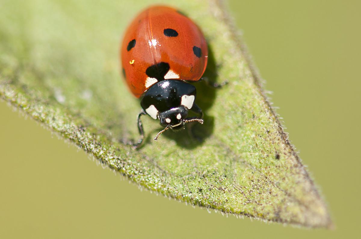 Ladybug Sofo