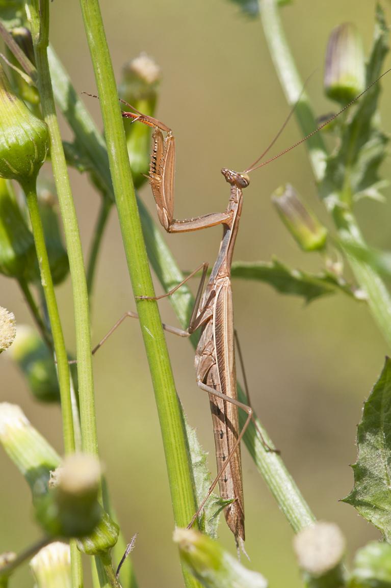 Praying Mantis SoFo