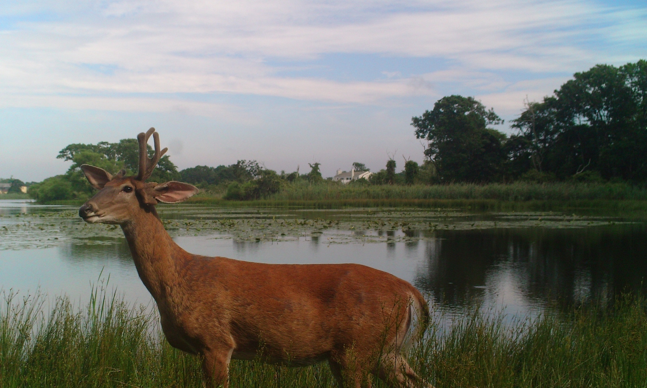 Trail cam deer at Poxy Pond