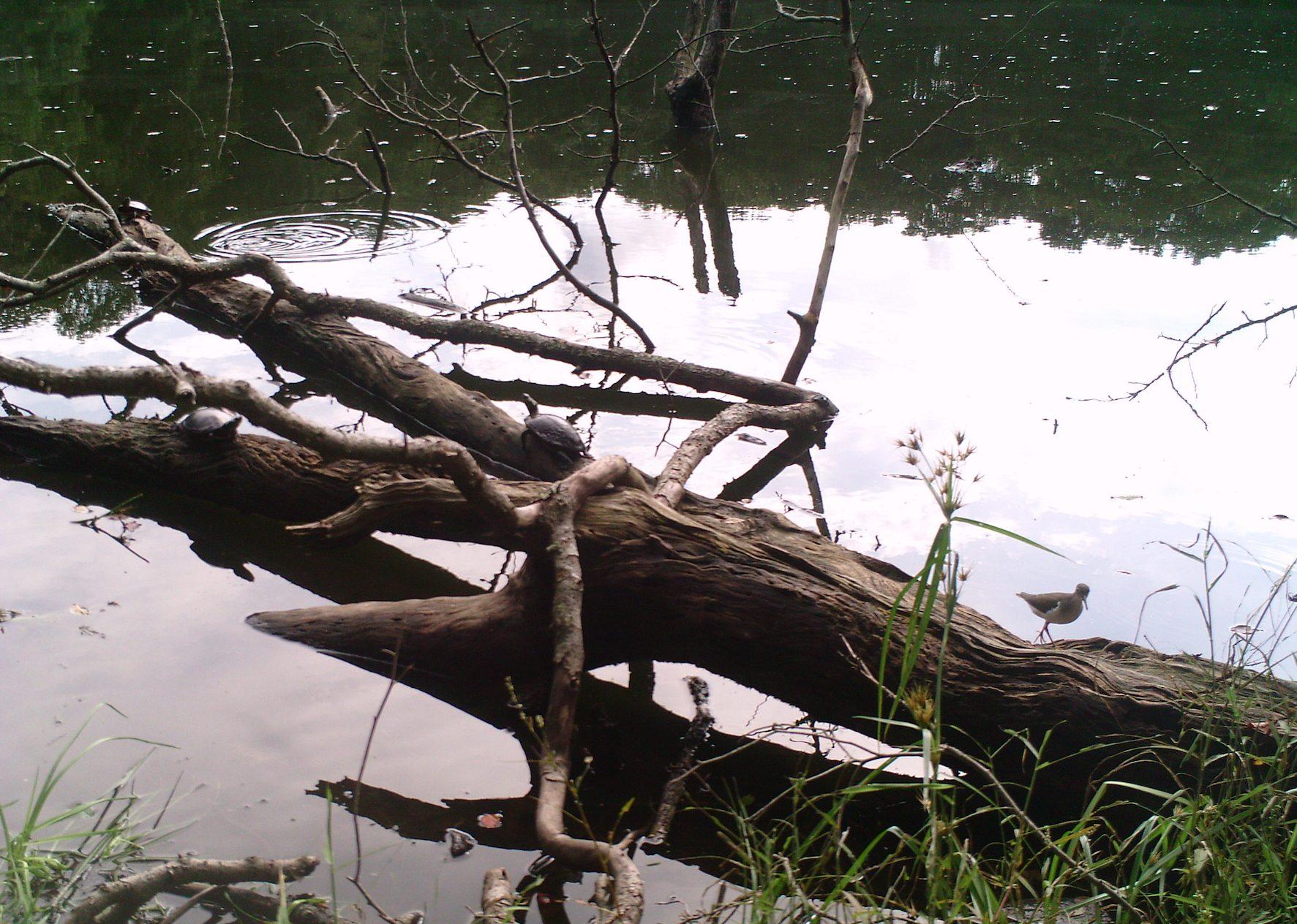 Turtle and bird on Black Pond